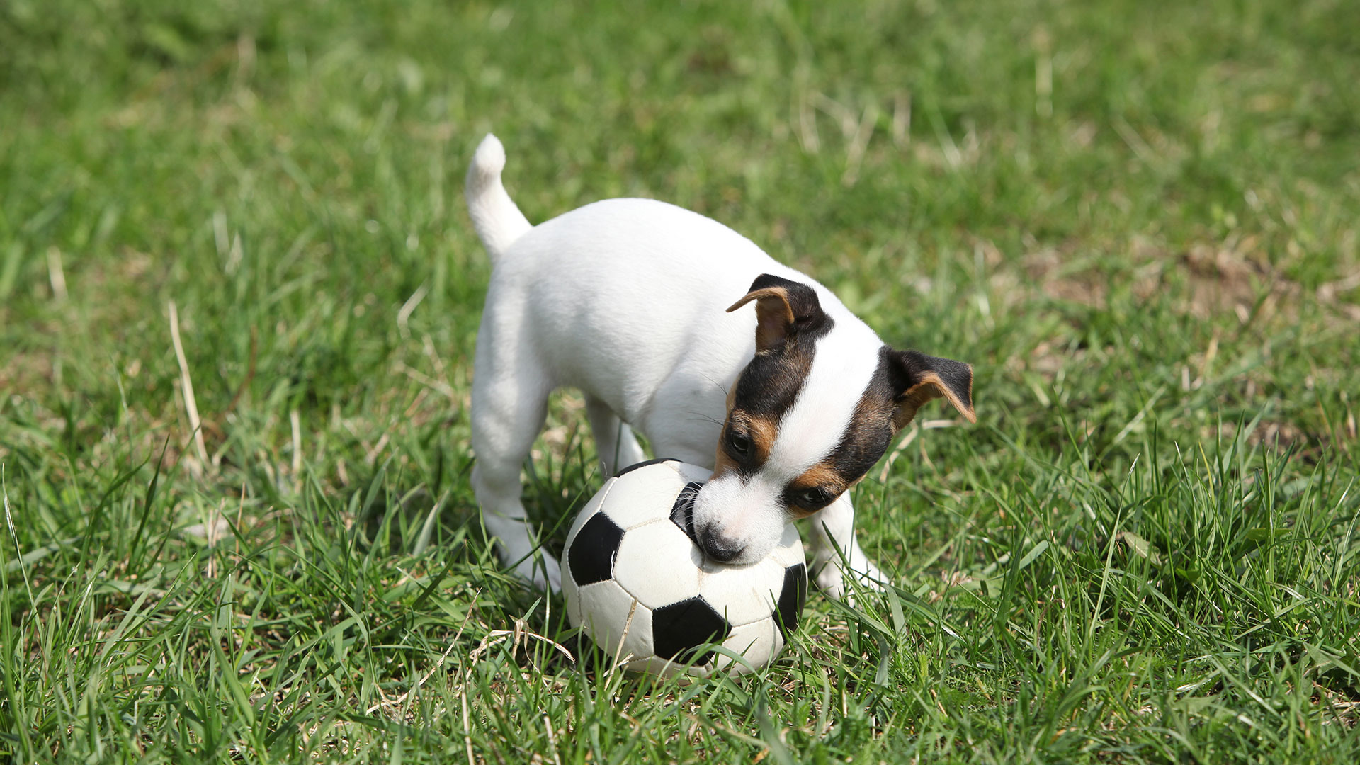 Puppy is playing with soccer ball on field